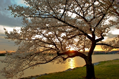 Cherry Blossom Tree On The River Bank