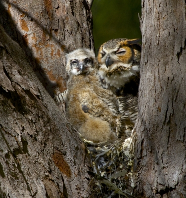 Great Horned Owl With Her 3 Week Old Chick