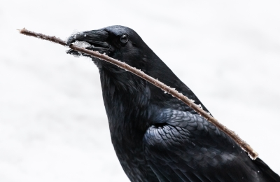 Crow With Icy Stick, Yosemite National Park, California