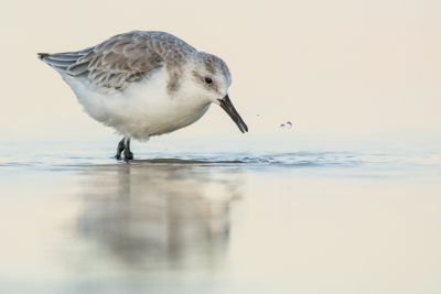 Sanderling In The Shallows At Dusk