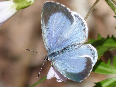Silvery Blue Butterfly (open)