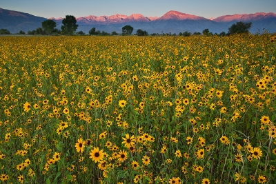 Sierra Sunflower Sunrise