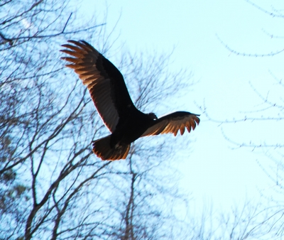 Turkey Vulture Hunting