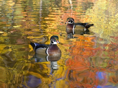 Wood Ducks On Pond With Fall Colors