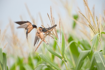 Swallows Bringing Food To Young