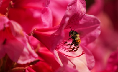 Bee Harvest From Azaleas