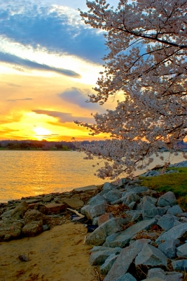 Cherry Blossoms At Sun Set