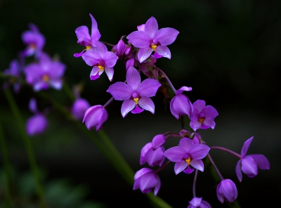 Ground Orchids