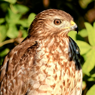 Juvenile Red-shouldered Hawk At Sunset