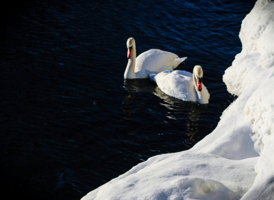 Swans On Cold Day