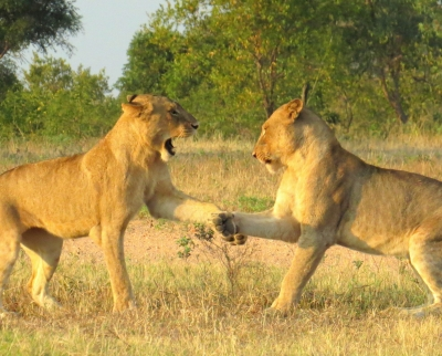 Lions Shaking Hands