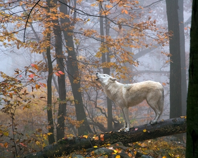 Wolf Howling In Autumn