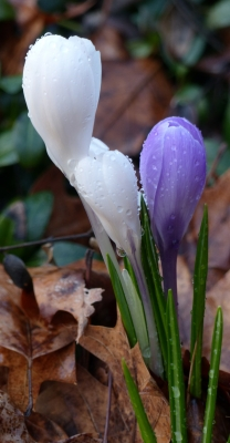 Spring Is Here – Crocuses Are Starting To Bloom!