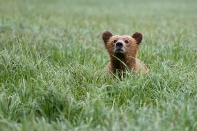 Grizzly Cub In The Sedge