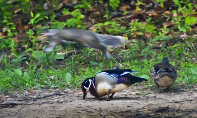 Squirrel Jumps Wood Ducks