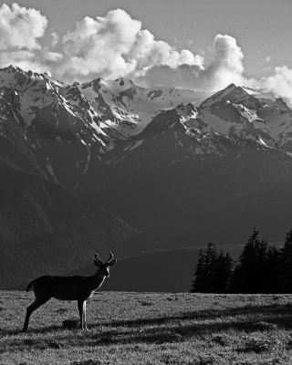 Black-Tailed Deer At Hurricane Ridge