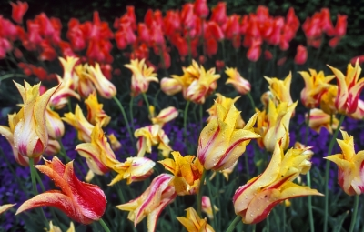 Lily-flowered Tulips