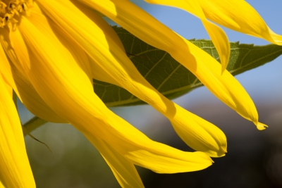 Sunflower And Leaf
