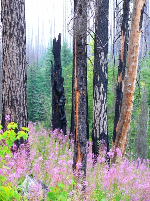 Fire, Then Fireweed