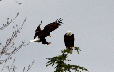 Bald Eagle Flies In To Meet His Mate