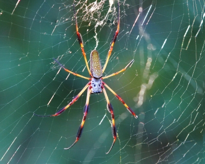 Glowing Banana Spider
