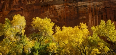 Cottonwoods At Capitol Reef