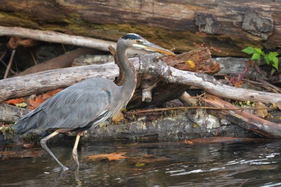Goldstream Heron.