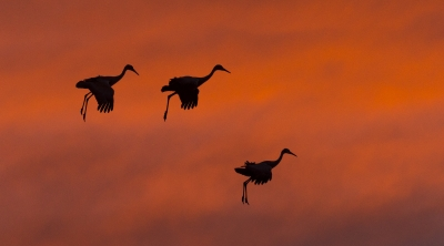 Sandhill Cranes Or Mary Poppins