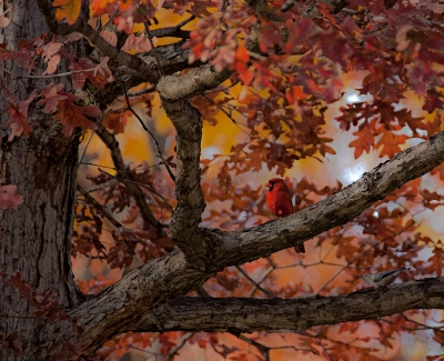 Cardinal Beauty In The Fall Color