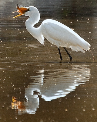 Great Egret Dines For Lunch