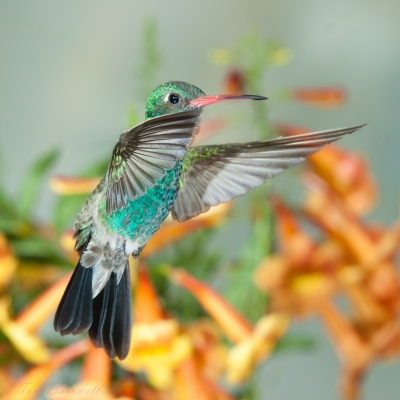 Broadbilled Hummingbird
