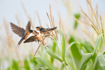 Swallows Feeding Young