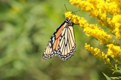 Butterfly And Goldenrod