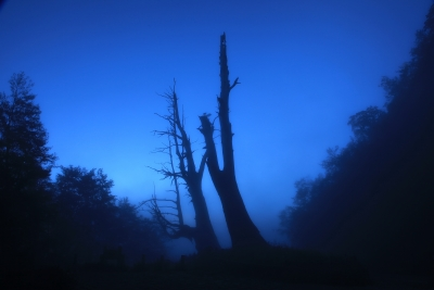 Husband And Wife Tree In Morning Mist