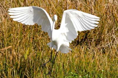 Great Egret Wing Spread #2