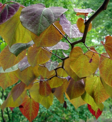 Redbud Leaves