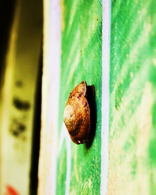 Yunque Tropical Snail