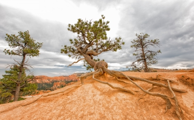 Three Trees In Bryce