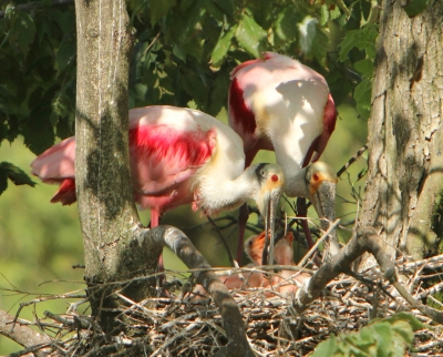 Roseate Spoonbill Pair With Chicks
