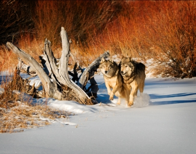 Wolves On The Run