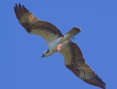 Osprey Wit Dinner