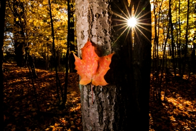 Fall Leaf With Sunstar