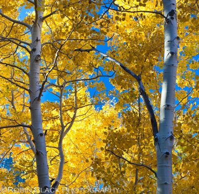 Twin Aspens, June Lake (eastern Sierra)