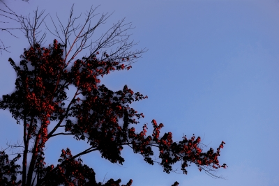 Red Leaves On Blue Sky