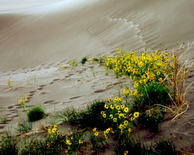Prairie Sun Flowers In Great Sand Dune National Park