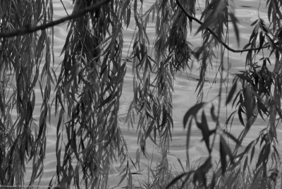 Weeping Willow Over Rippling Waters