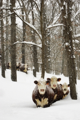 Herefords In The Snow