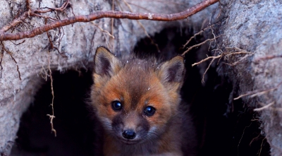 Young Red Fox At Den