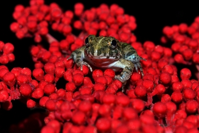 Frog On Red Buds