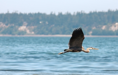 Flight Of The Heron